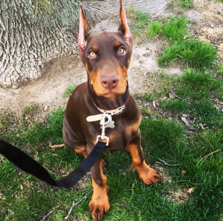 European Doberman Puppies for Sale - European Dobermans