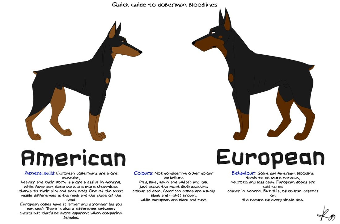About Doberman Pinsche...