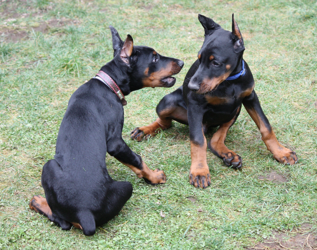 European Doberman Puppies For Sale European Dobermans