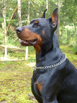 Champion European Doberman Males European Dobermans